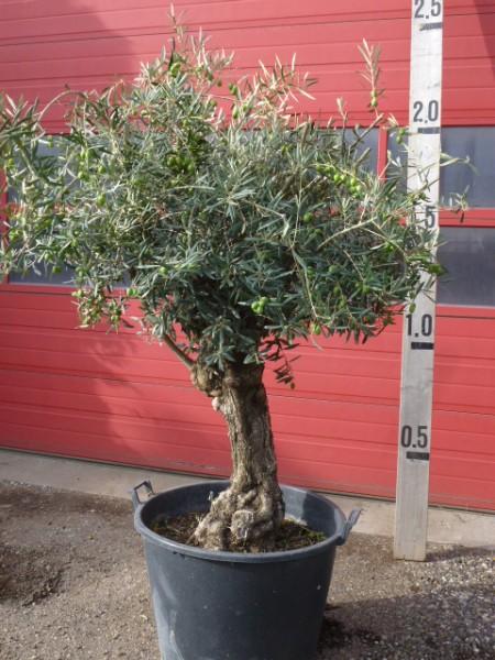 BOTANICAL GROUP Oivenbaum olea euopaea, Bonsai